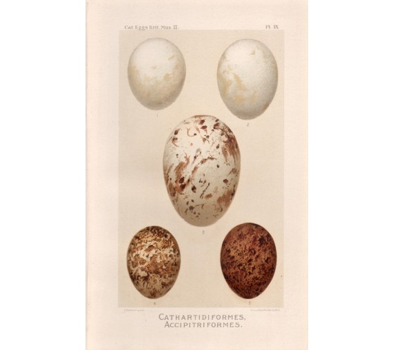 bird-eggs-print-cathartidiformes
