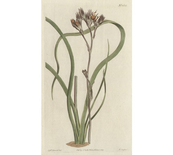 haemodorum curtis botanical magazine print antique engraving