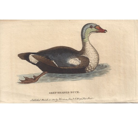 grey headed duck engraving naturalists pocket magazine