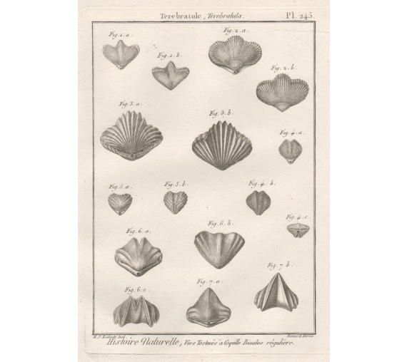 Shells engraving Benard Redoute French