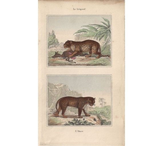 leopard panther buffon antique print engraving