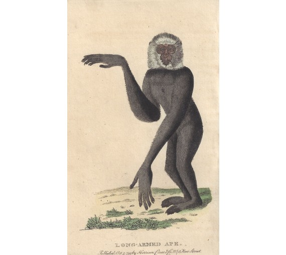 long armed ape engraving naturalists pocket magazine