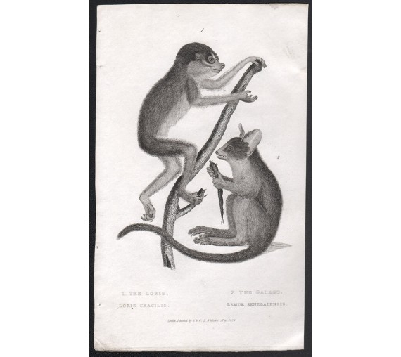 lemur loris engraving
