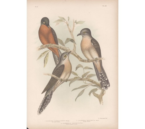 Fan tailed cuckoo Broinowski Birds Australia Chromolithograph
