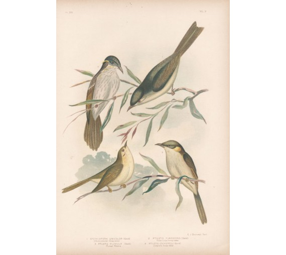 honey eater ptilotis Broinowski Birds Australia Chromolithograph