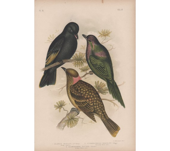 bower birds Broinowski Birds Australia Chromolithograph