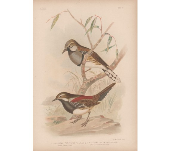 ground thrush Broinowski Birds Australia Chromolithograph