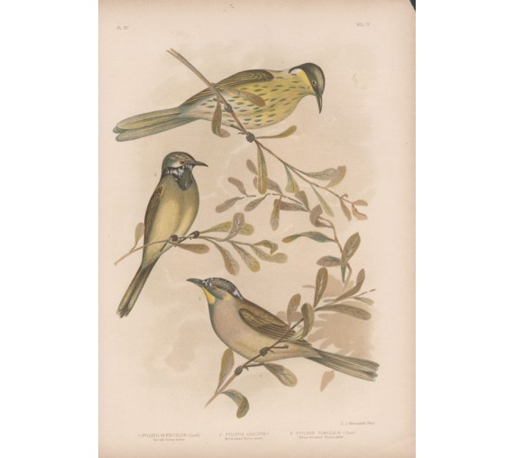 Honey eater Broinowski Birds Australia Chromolithograph