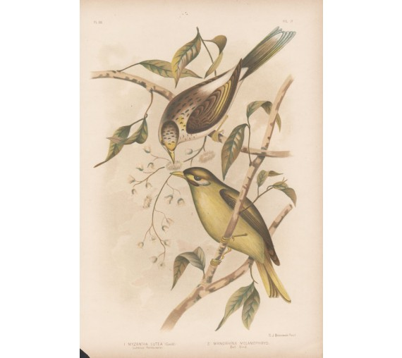honey eater bell bird Broinowski Birds Australia Chromolithograph