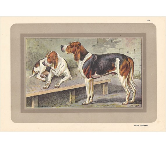 Chien Normand Chromolithograph print gun dog breed