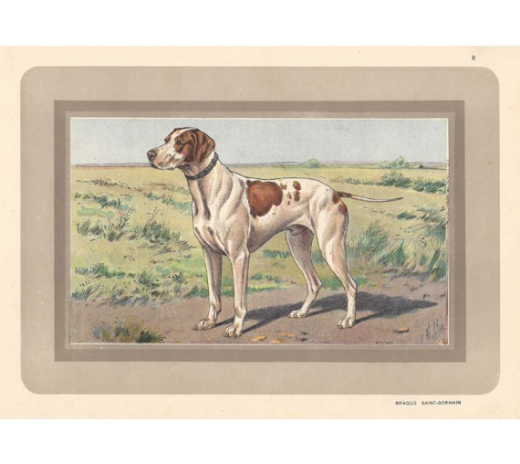 braque saint germain Chromolithograph print gun dog breed