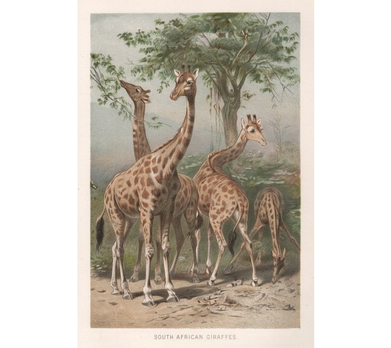 south african giraffe antique chromolithograph print