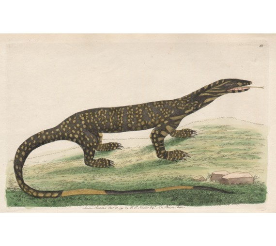 The Variegated Lizard Goanna engraving