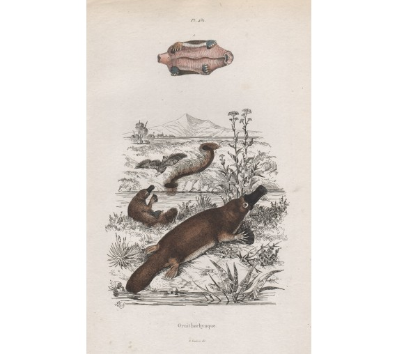 Ornithorhynque Platypus engraving Adolph Fries 1839