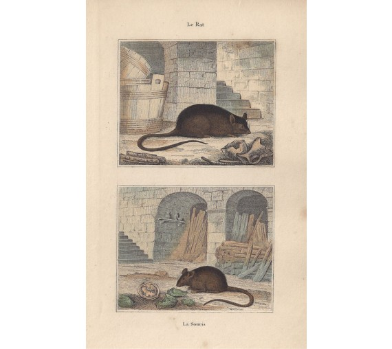 rat mouse antique print engraving