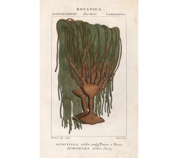 durvillea antartica antique engraving