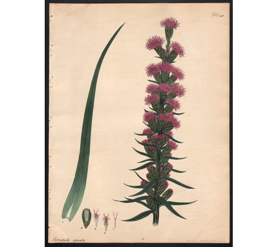 serratula-spicata-botanical print antique engraving andrews