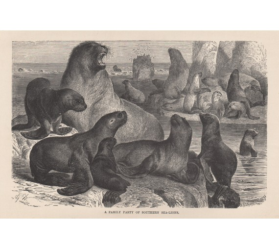 southern sea lions seals engraving