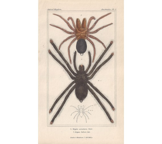 mygale atypus spiders spider print