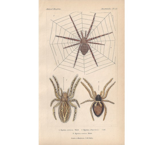 epeira spiders spider print sericea