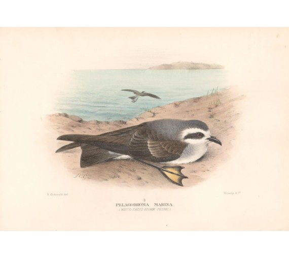 Mathews Birds Australia Storm Petrel Lithograph