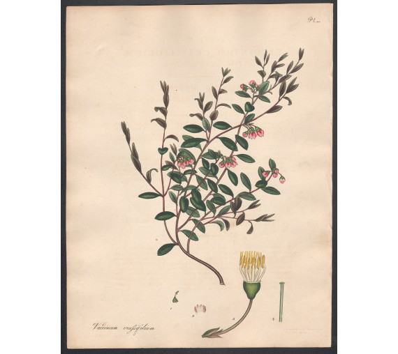 Vaccinium crassifolium botanical print antique engraving andrews