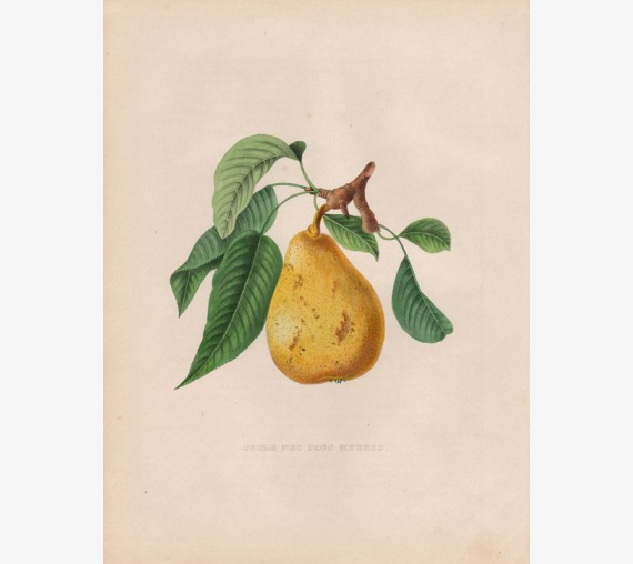 pear fruit botanical pomologie print bivort antique chromolithograph