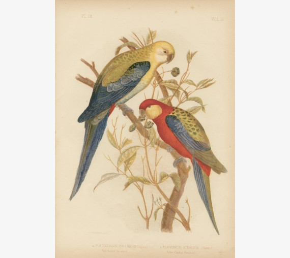 Pale Headed Parrakeet Broinowski Birds Australia Chromolithograph