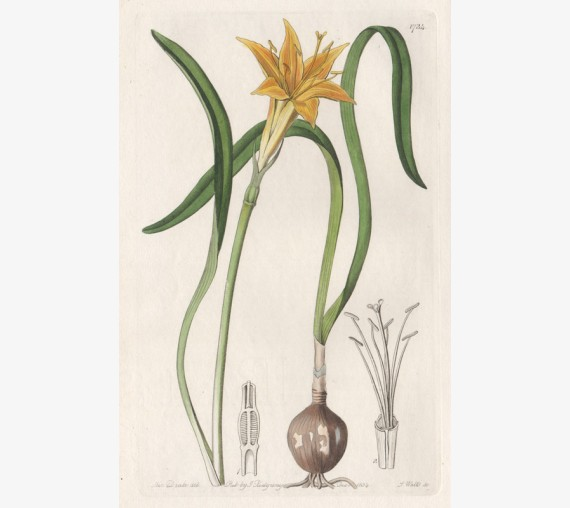 lily golden flame botanical print antique engraving
