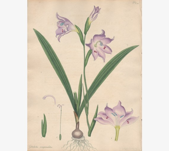 gladiolus campanulatus botanical print antique engraving andrews