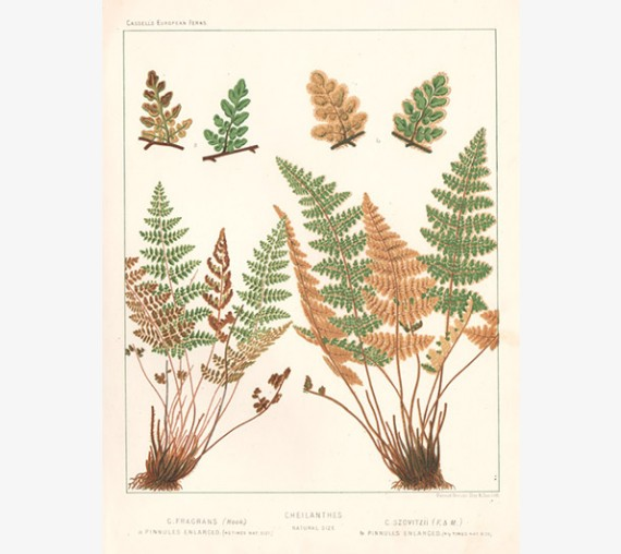 cheilanthes fern botanical print antique lithograph