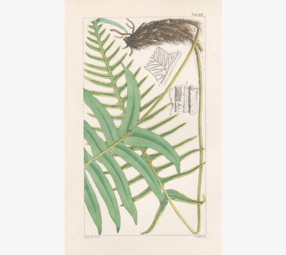 lomaria vulcanica fern fitch hooker botanical print antique