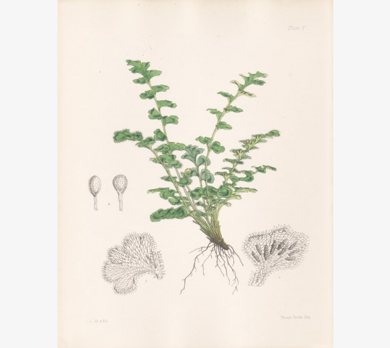 gymnogramme fern fitch botanical print antique lithograph