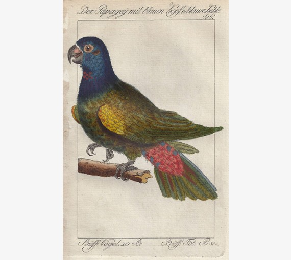 Blue headed Parrot of Cayenne engraving