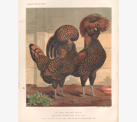 Cassells Book Poultry Golden Spangled Polish Chromolithograph Ludlow