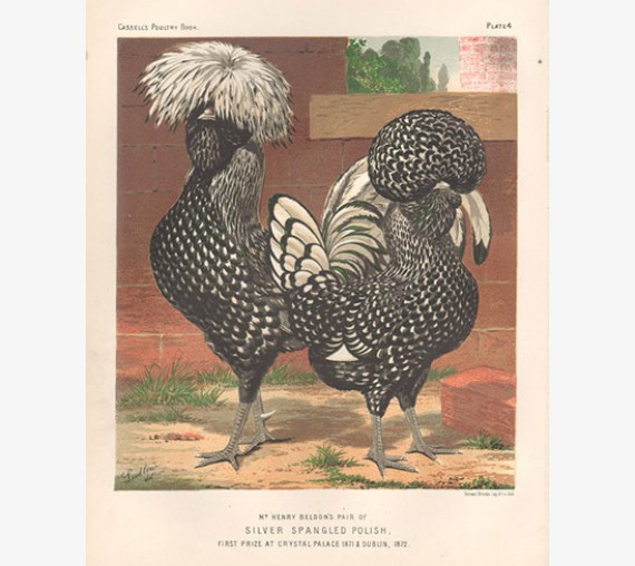 Cassells Book poultry Silver Spangled Polish Chromolithograph Ludlow