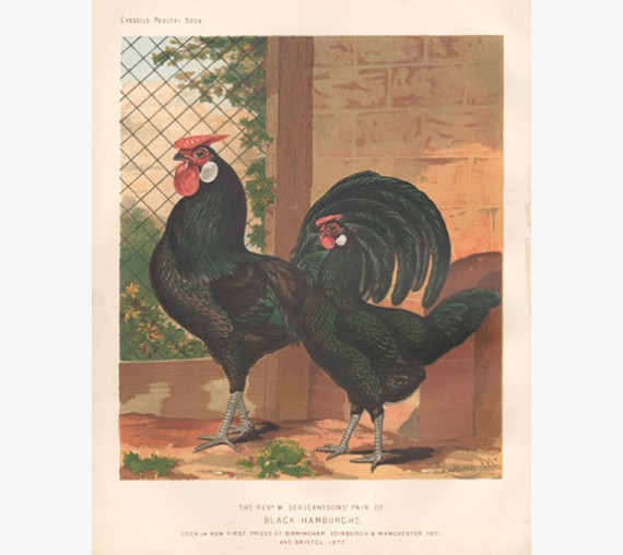 Cassells Book Poultry Black Hamburghs Chromolithograph Ludlow