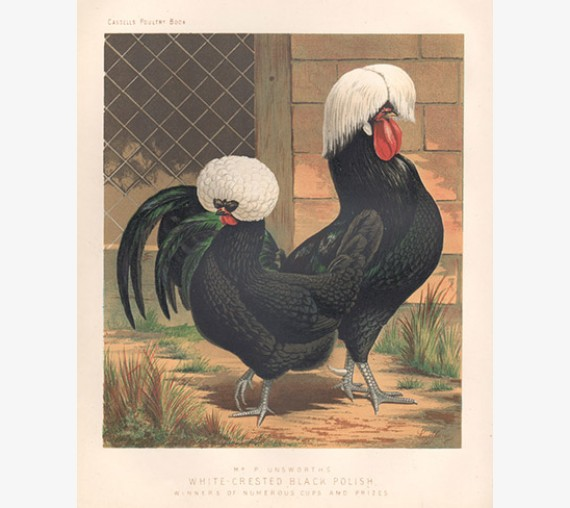 Cassells Poultry White Crested Black Polish Chromolithograph Ludlow