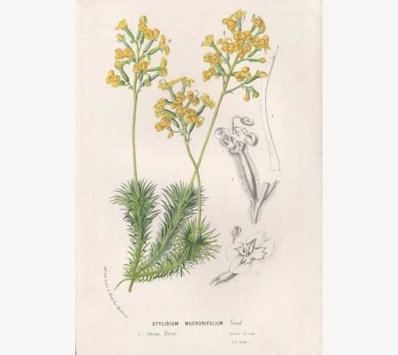 stylidium mucronifolium illustration horticole antique print lithograph