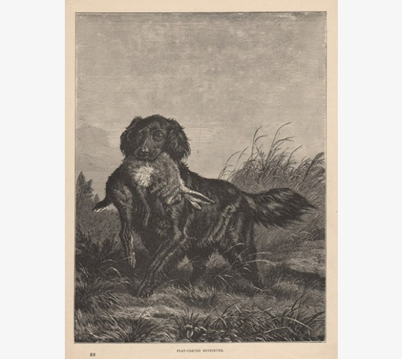 Flat Coated Retriever engraving Cassell book dog
