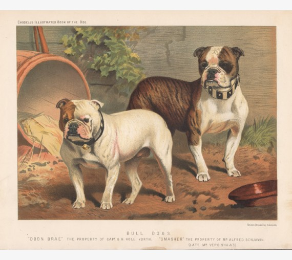 Bull Dogs Chromolithograph Cassell book dog