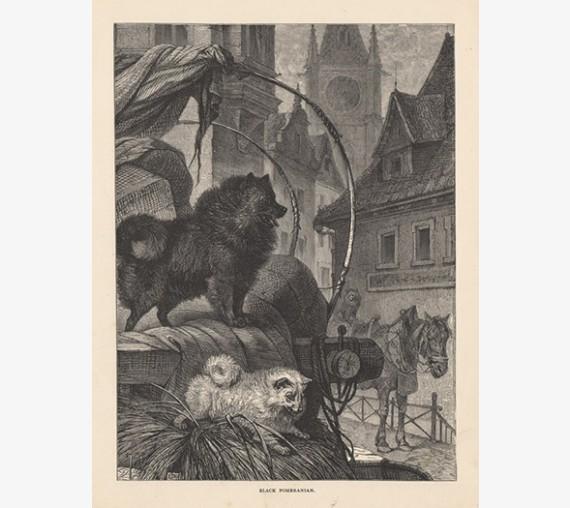 Black Pomeranian engraving Cassell book dog