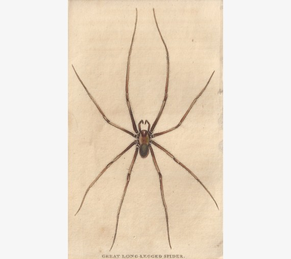 Great Long Legged Spider engraving Naturalist's Pocket Magazine