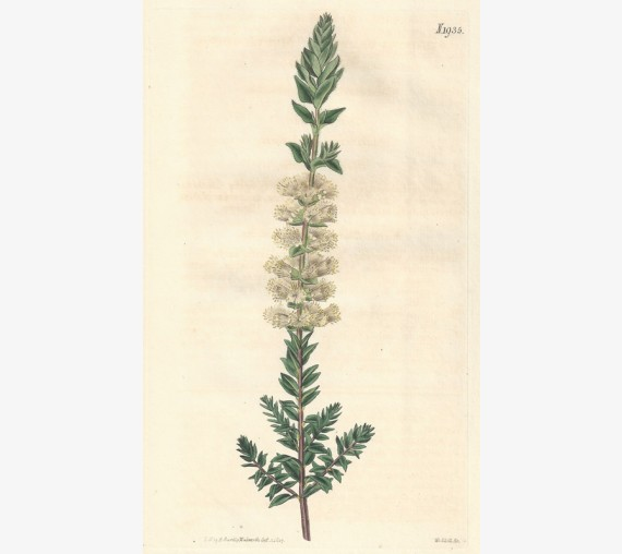 melaleuca myrtle curtis botanical magazine print antique engraving