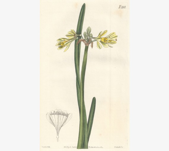 calostemma daffodil curtis botanical print antique engraving
