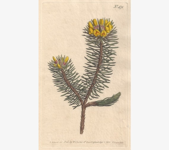 pultenaea yellow curtis botanical magazine print antique engraving
