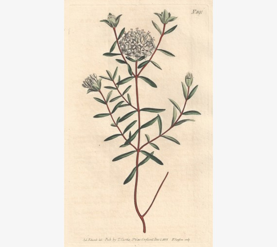 pimelea curtis botanical magazine print antique engraving