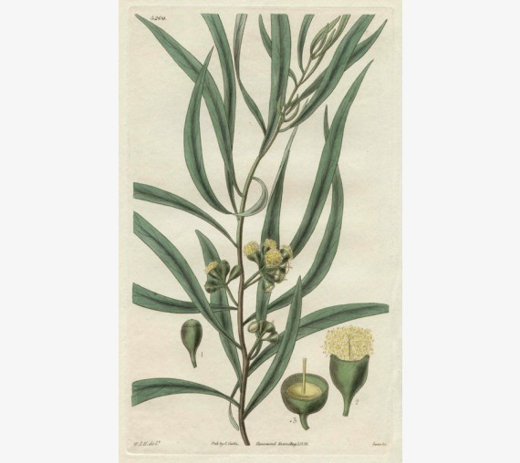 eucalyptus curtis botanical magazine print antique engraving