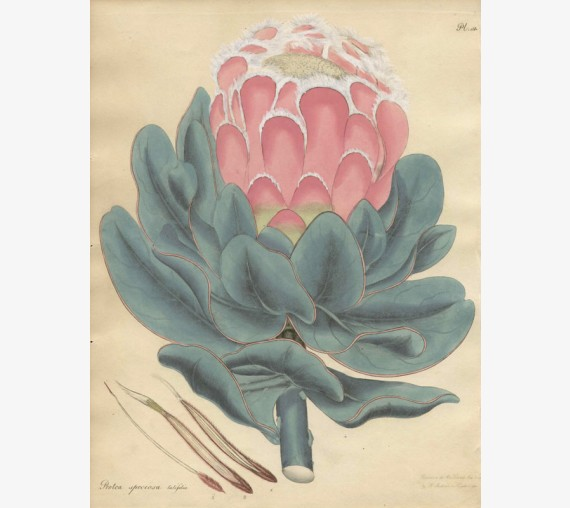protea speciosa african botanical print antique engraving andrews