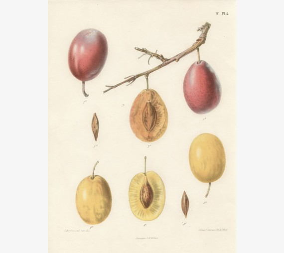plum fruit botanical print antique chromolithograph